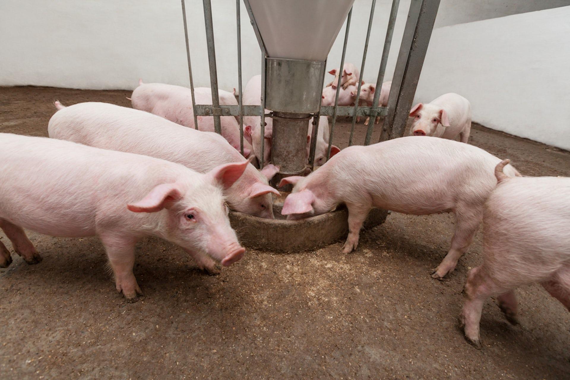 Как делать укол свинье фото