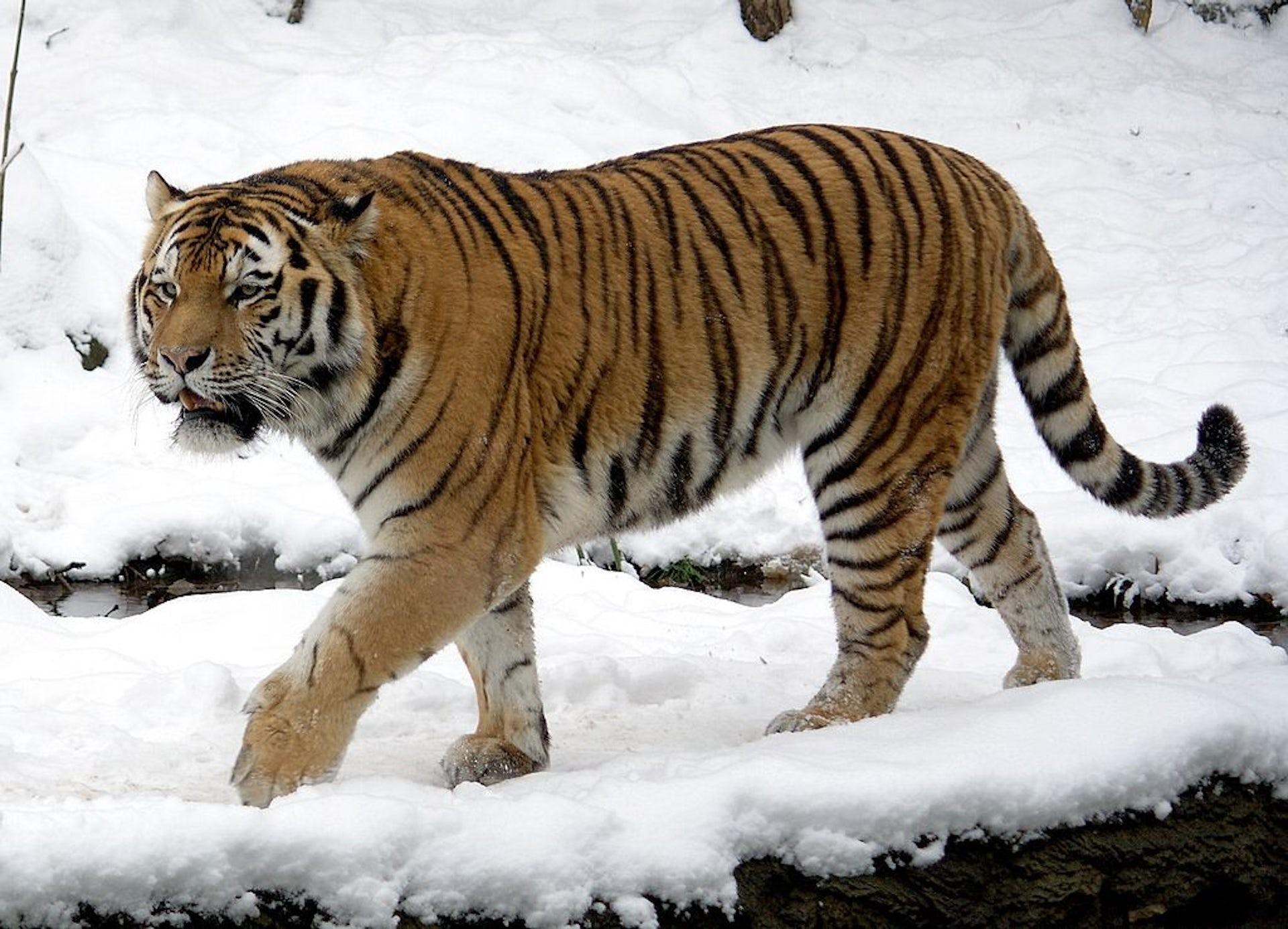 Trinil tiger
