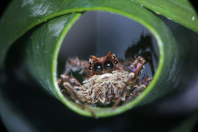 The portia spider a stealthy predator