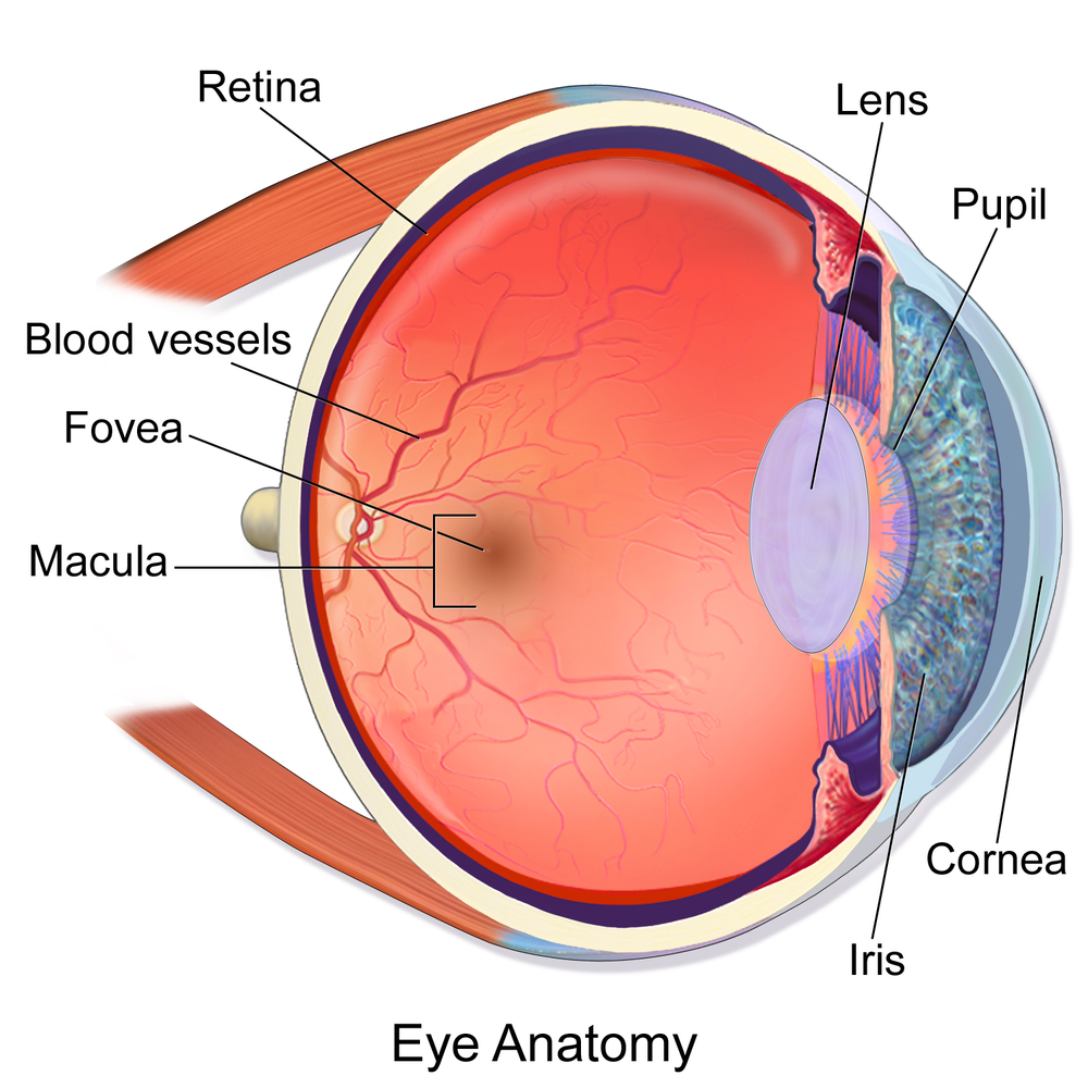 How do our brains reconstruct the visual world step one for vision the eye bruceblaus cc by ccuart Image collections