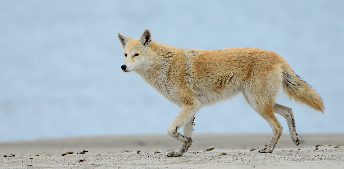 yes eastern coyotes are hybrids but the coywolf is not