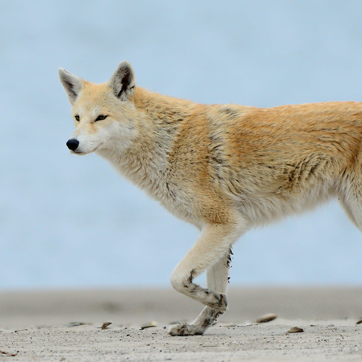 Yes, eastern coyotes are hybrids, but the 'coywolf' is not a