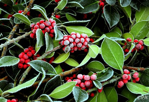 The holly and the ivy: how pagan practices found their way
