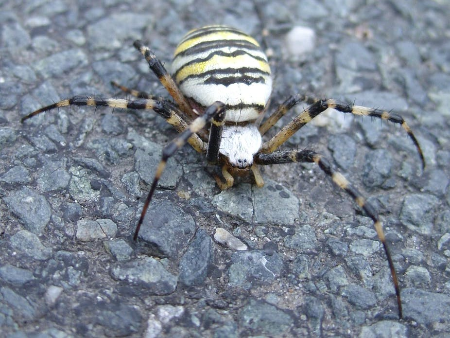 Sticky And Picky Why Male Orb Web Spiders Like Heavy Virgins