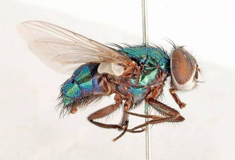 pinned down thats one way of killing a blowfly csiro cc by