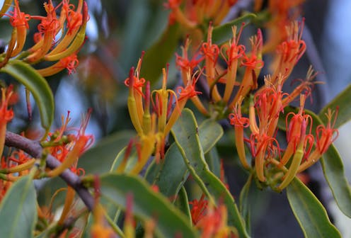 Mistletoe The Kiss Of Life For Healthy Forests