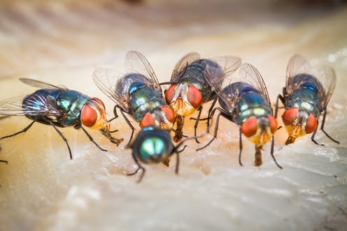 Buzz, buzz, slap! Why flies can be so annoying