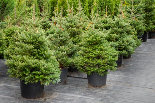 Growing Revenue How Does The Christmas Tree Business Stack Up