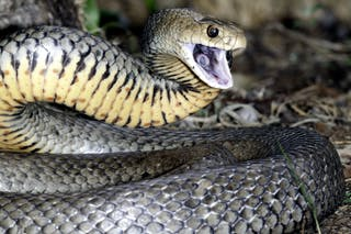 Are Australian snakes the deadliest in the world? Not even close
