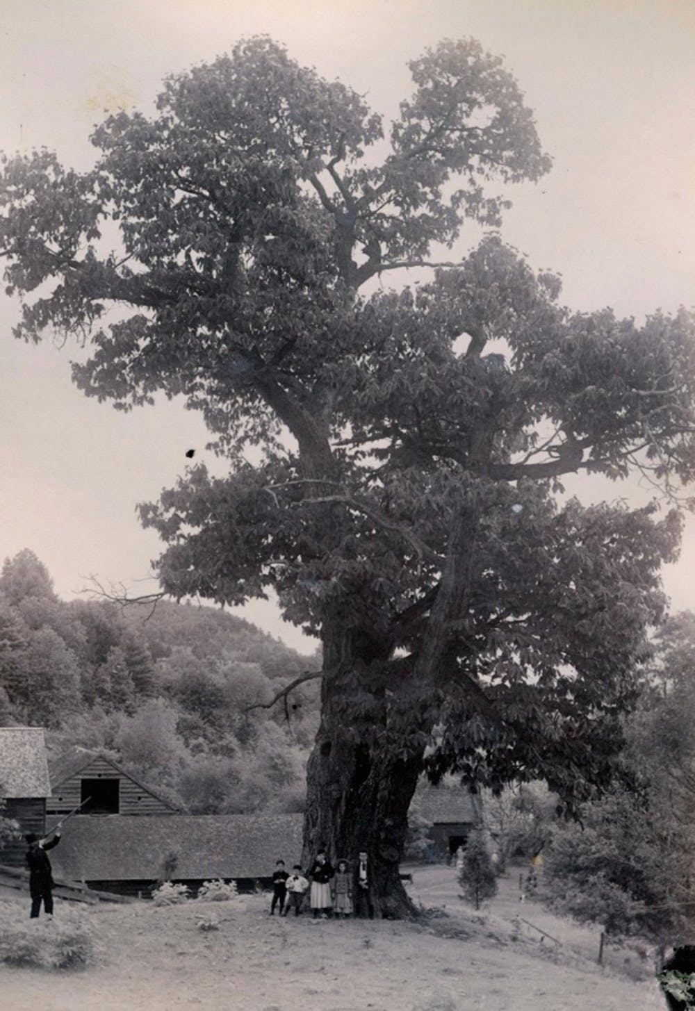 b5a8f298354 Historic picture of a large American chestnut tree (Ten Eyck Dewitt barns