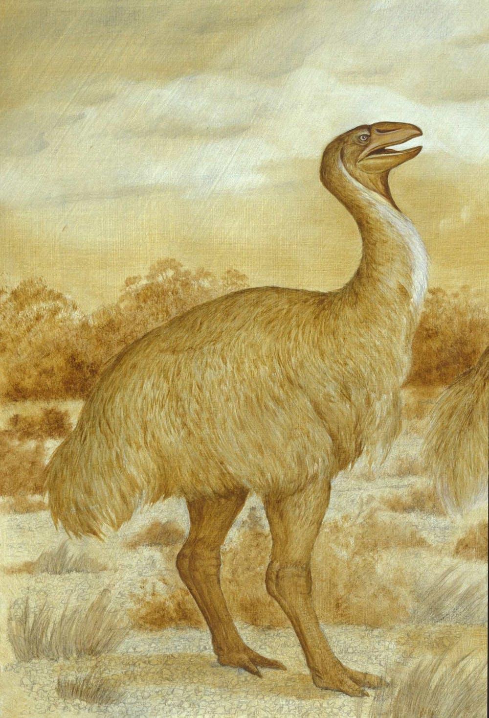 Miller Auto Group >> A case of mistaken identity for Australia's extinct big bird