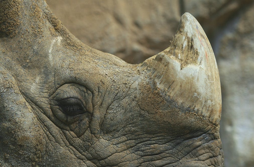 Africa's rhinos hog the limelight while their Asian cousins