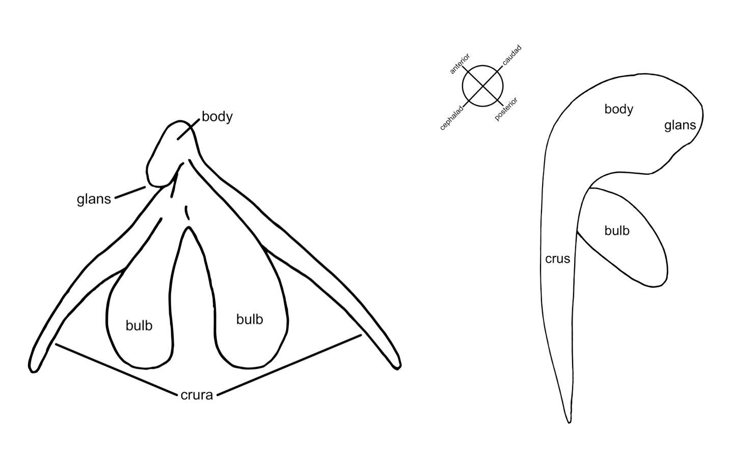 why the clitoris doesn t get the attention it deserves and why Male Reproductive System Diagram No-Label all four parts of the clitoris are visible in this view the glans external portion the body the bulbs and the crura