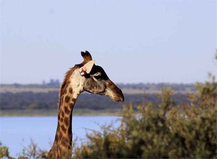 How do giraffes adapt to their environment?