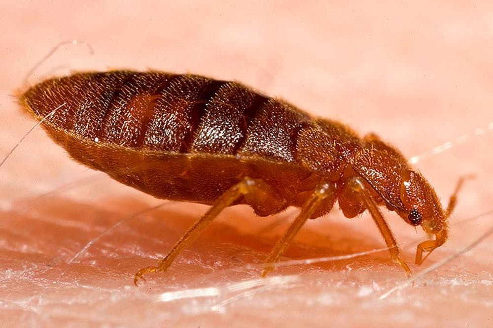 In Defence Of The Bed Bug