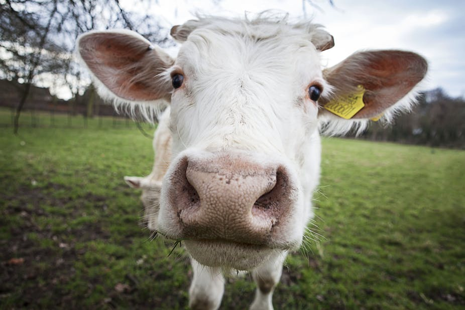 Opposition to genetically modified animals could leave