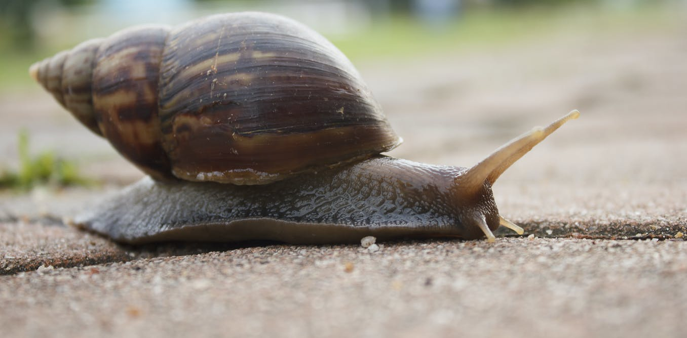 Kids, put down the snails, they could carry rat lungworm