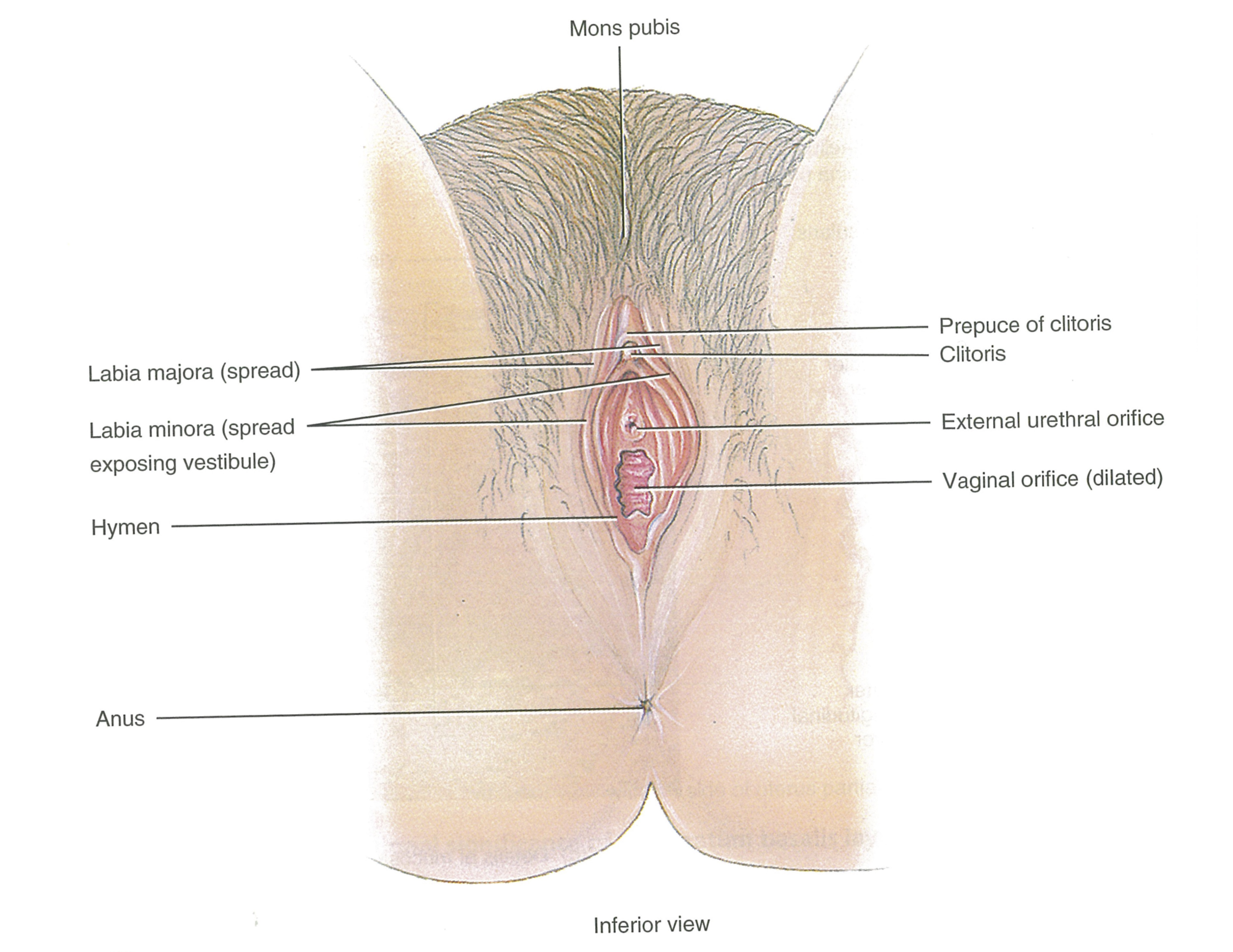 This Figure Published In 2014 Depicts The Clitoris As Only The External Clitoral Glans And Prepuce Hood