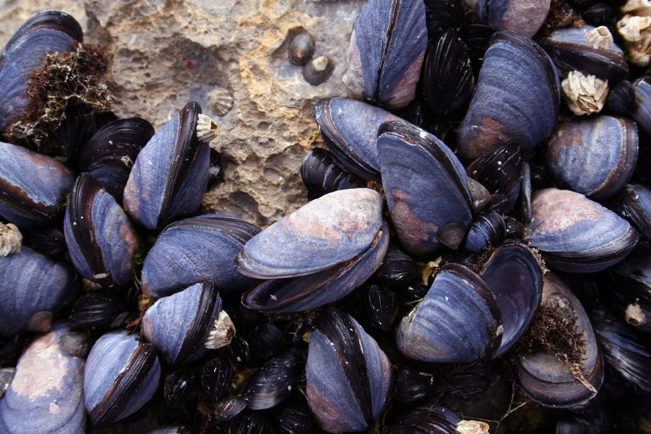 Background Research - The Effects of Ocean Acidification ...  Mussels In Ocean