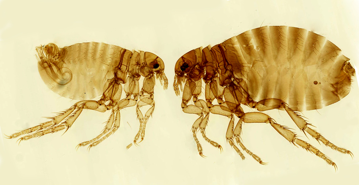 different types of fleas