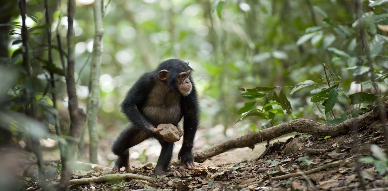 У шимпанзе в Африке обнаружили странный культ