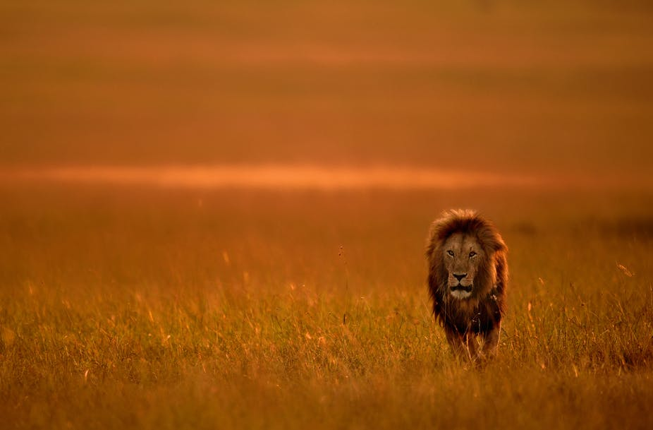 how people can live next to lions without killing them new study