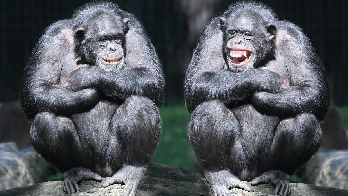 The evolutionary origins of laughter are rooted more in survival than  enjoyment