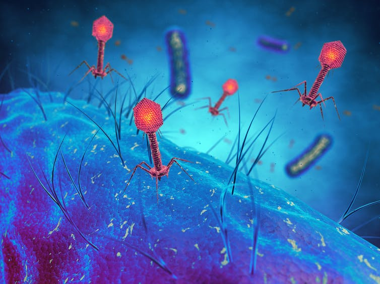 bacteria-eating viruses could solve the bacteria resistance problem