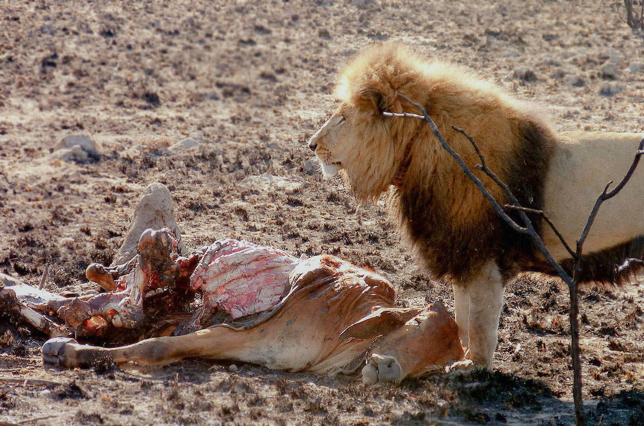 Conflict Humans and Lions Conservation and Coexistence