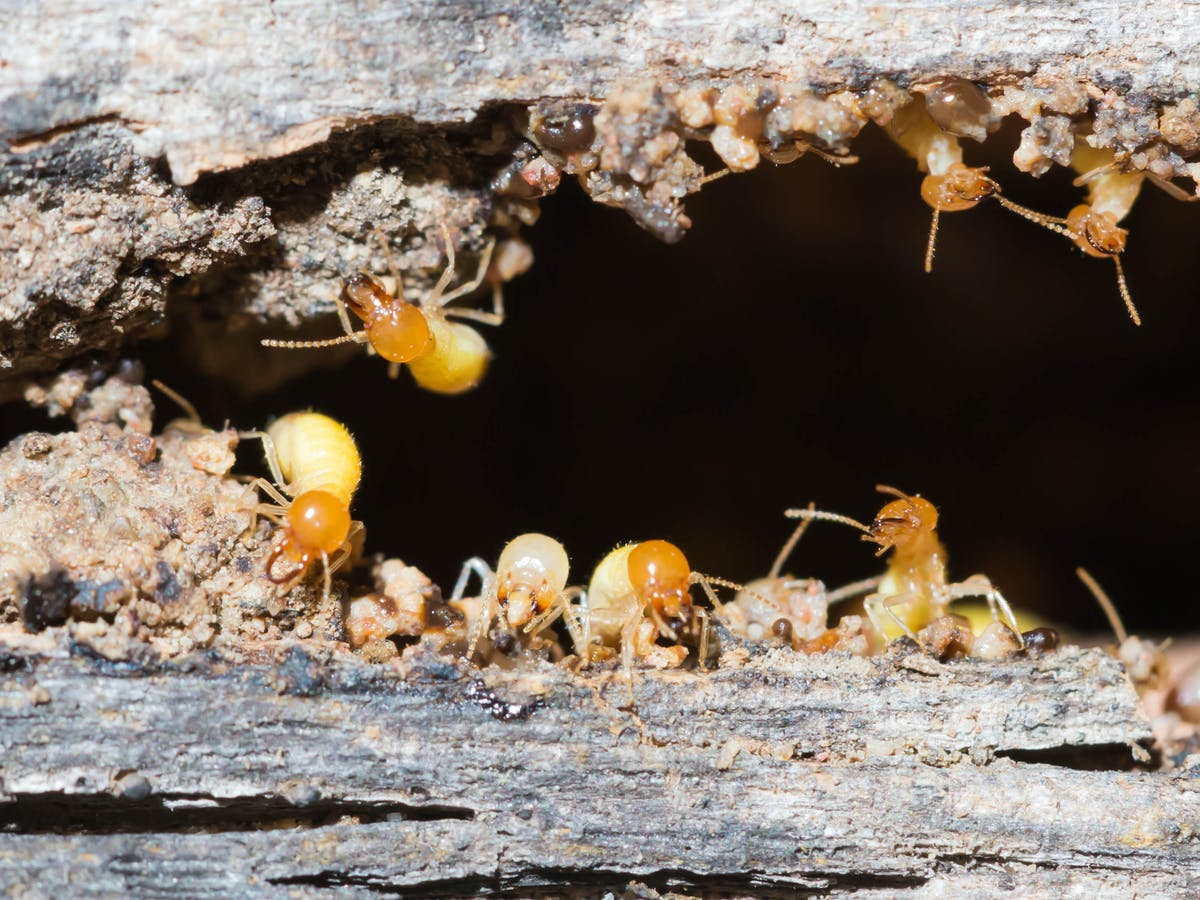 Hidden Housemates The Termites That Eat Our Homes