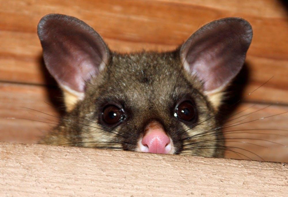 Hidden housemates: when possums go bump in the night