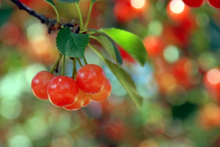 Cherry Concentrate Can Lower Blood Pressure As Much As Drugs Our
