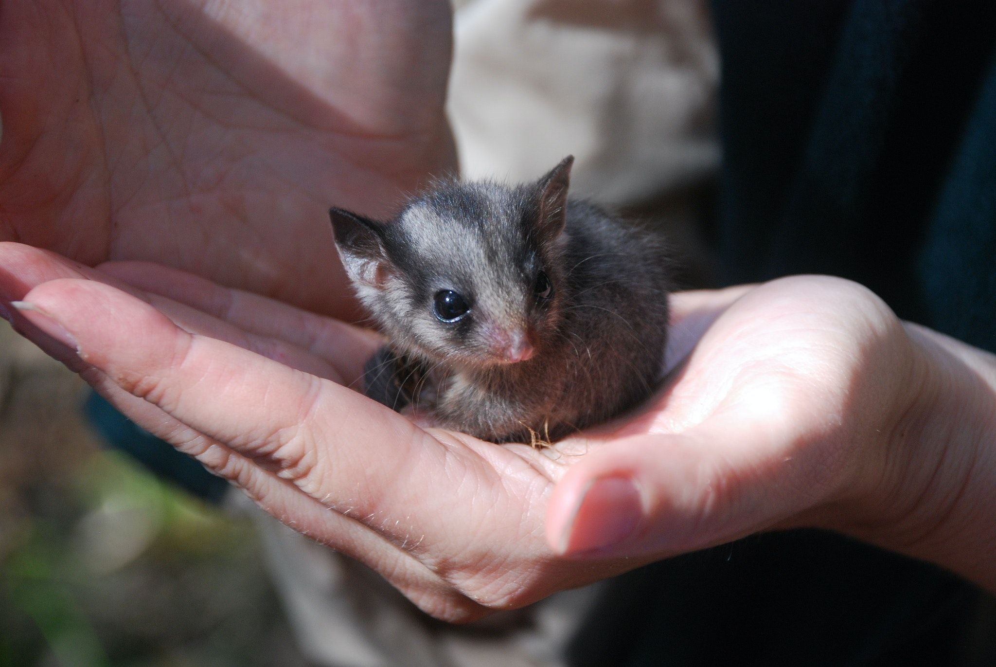 The collapse of Mountain Ash forests threatens Leadbeater's Possum with extinction.