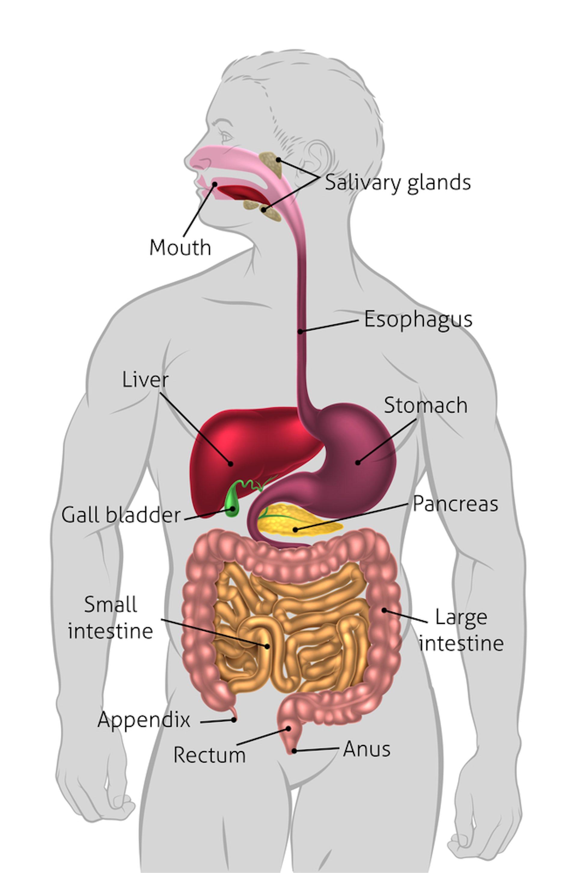 Diagram Of Gallbladder Location In Body Wiring Circuit
