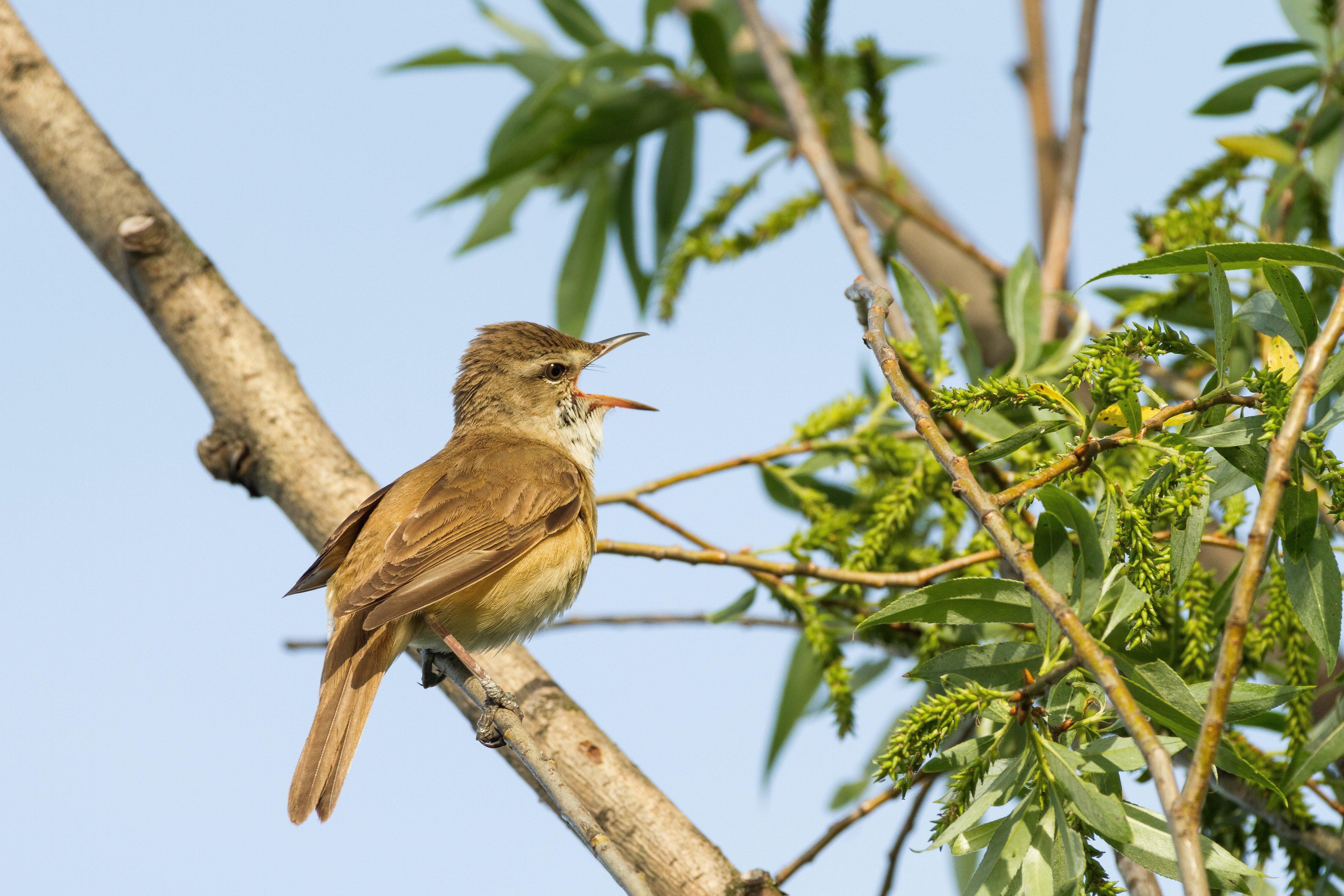 There S A Reason Why Africa S Migratory Songbirds Sing Out Of Season