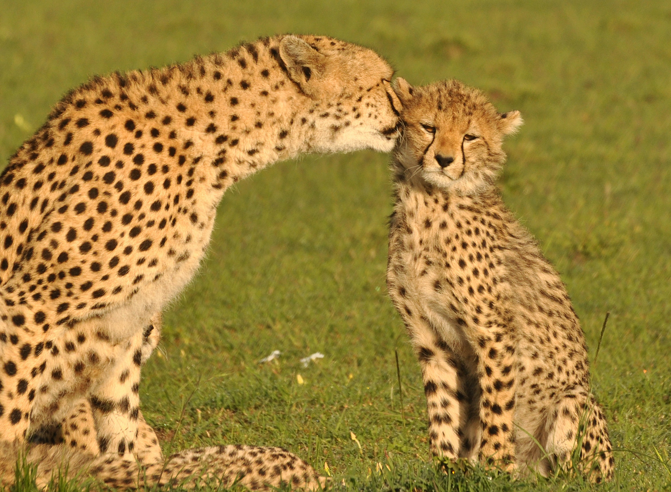 All Around Auto >> Counting cheetahs: a new approach yields results in the Maasai Mara