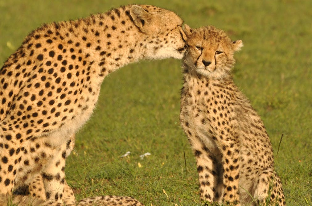 Wake-up call for the world as the plight of cheetahs worsens
