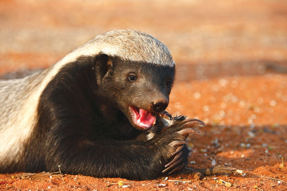 The Houdini Honey Badger And Other Surprisingly Clever Animals