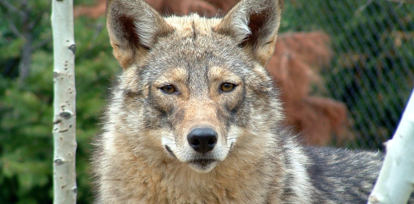 Why The Eastern Coyote Should Be A Separate Species The Coywolf
