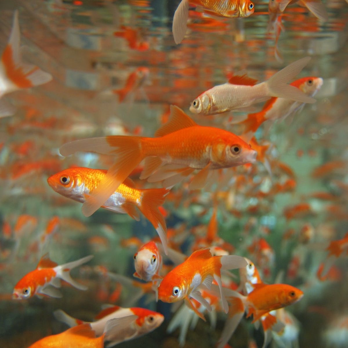 Why You Should Never Put A Goldfish In A Park Pond Or Down The Toilet
