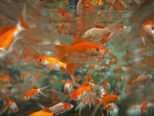 Why You Should Never Put A Goldfish In A Park Pond Or Down The