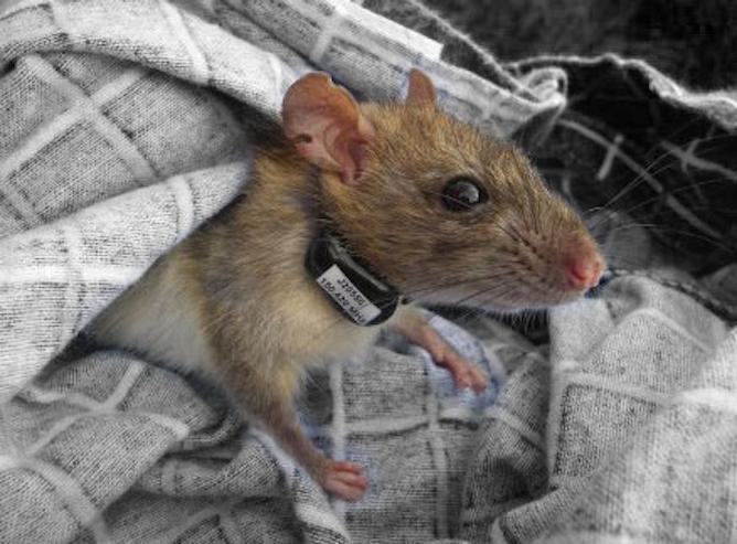 Hidden Housemates Rats In The Ranks