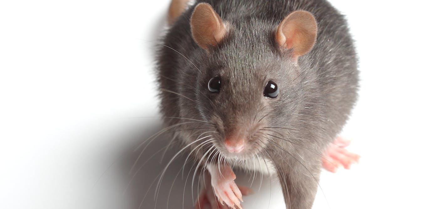 Hidden housemates: rats in the ranks