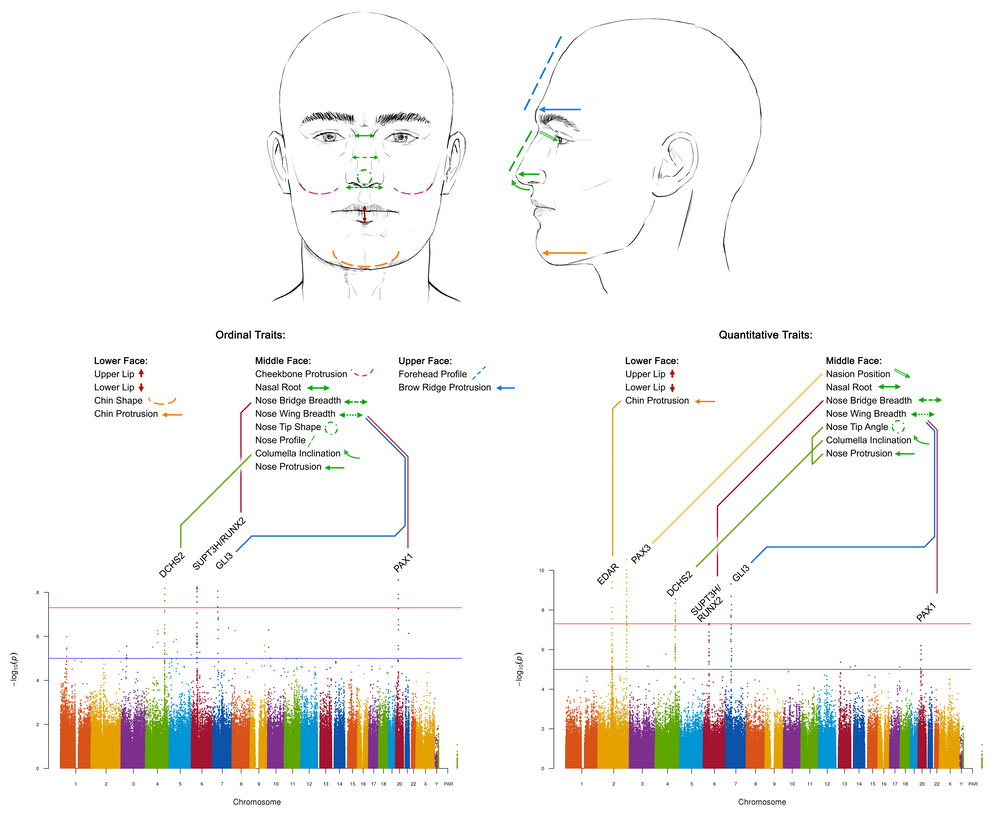 How we found the genes that control nose shape – and what