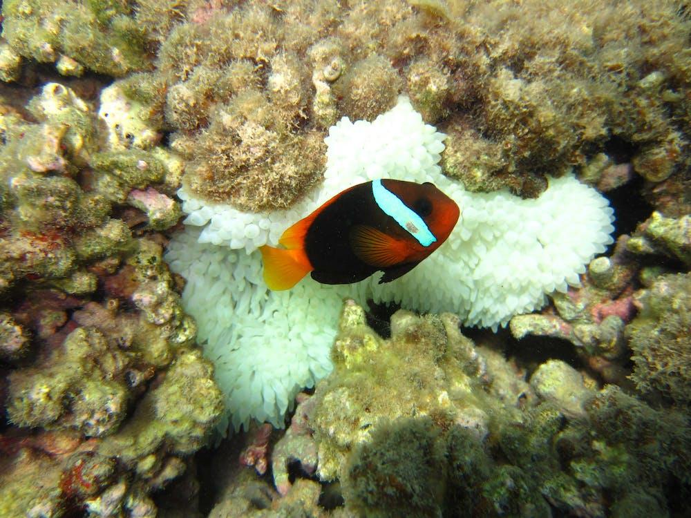 Saving Nemo: how climate change threatens anemonefish and