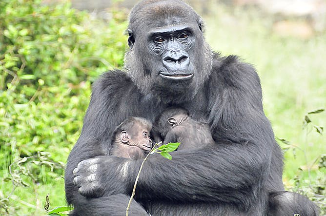 gorilla my love with all the Find all available study guides and summaries for gorilla my love by toni cade bambara if there is a sparknotes, shmoop, or cliff notes guide, we will have it.