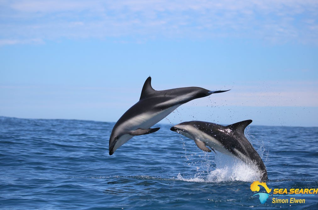 f1dd7d08be6315 Some dolphins live close to the shore, where they regularly encounter  humans. This is affecting their numbers. Simon Elwen