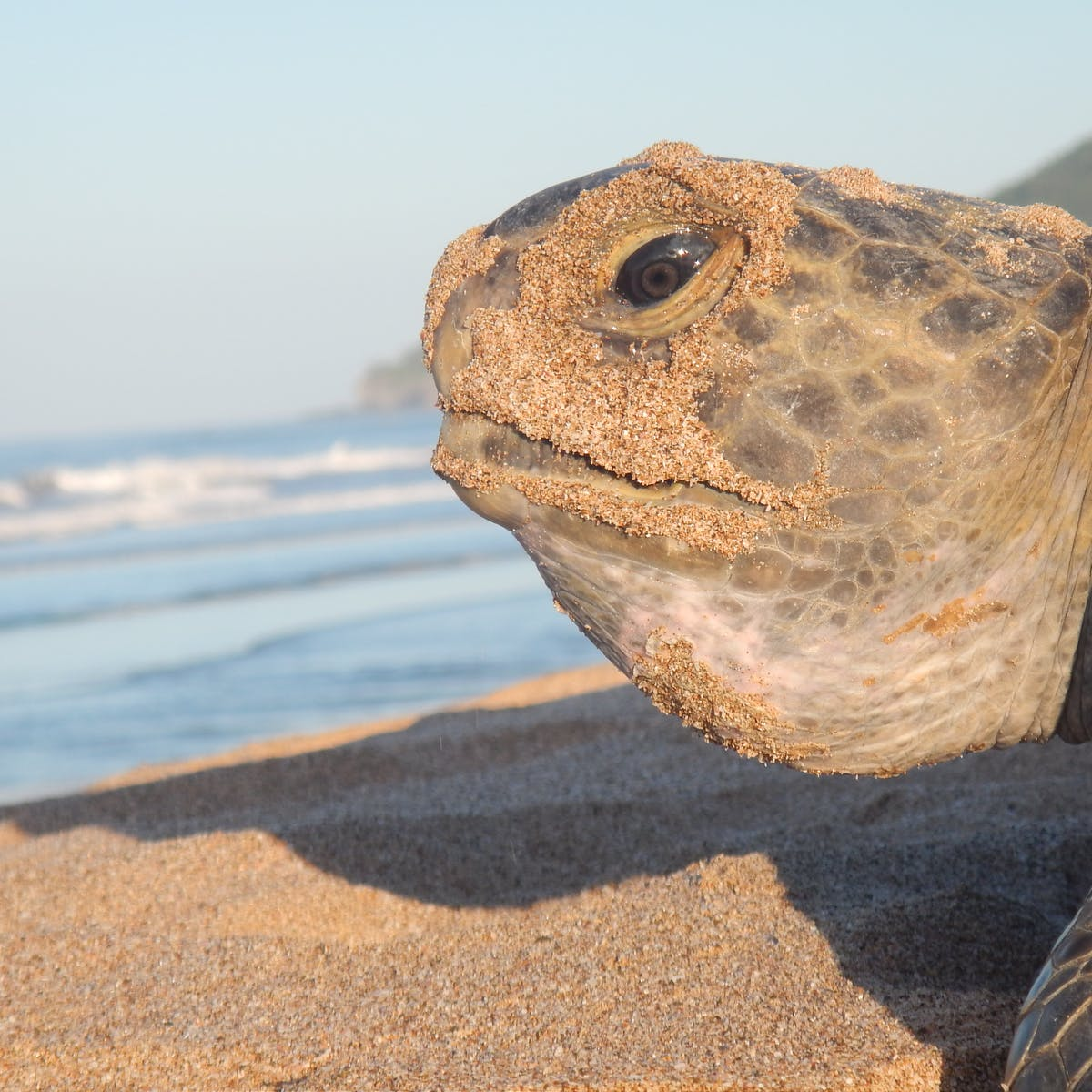 Sea turtle 'hitchhikers' could play an important role in