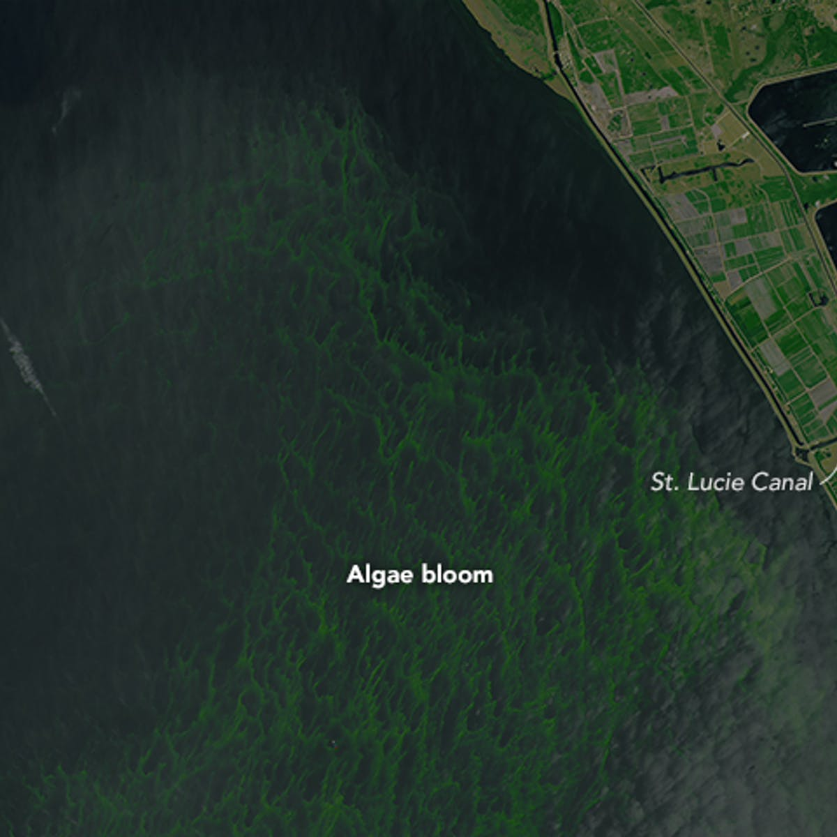 Why toxic algae blooms like Florida's are so dangerous to people and