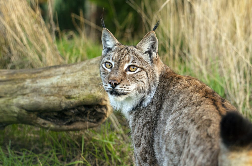 an analysis of the lynx speed